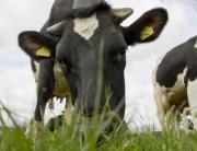 молочных коров