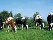 cows toxic gm crops